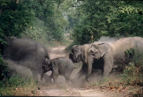 Kawanan Gajah Kembali Turun ke Areal Warga