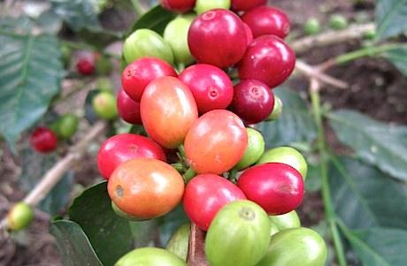 coffee arabica gayo
