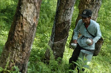 Aceh Barat Tanam Perdana Karet Seluas 1.080 Hektare
