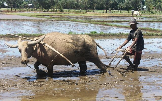 Petani sawah sedang menggunakan Kerbau untuk membajak sawah di Abdya (Foto Tarmizi Age)