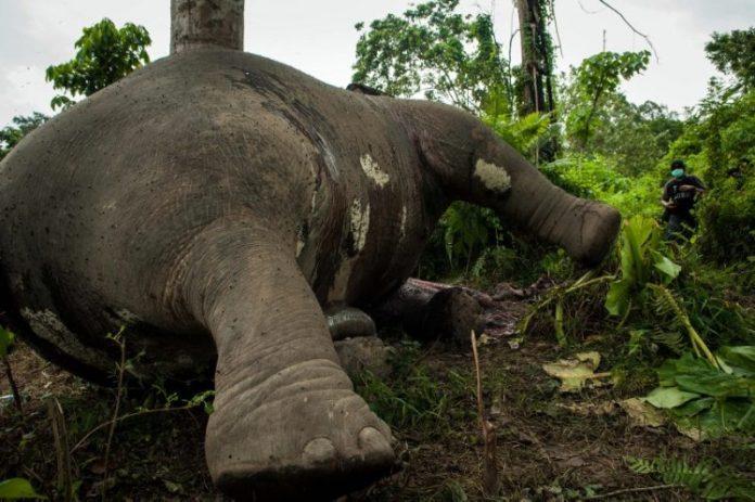 Gajah jantan 'Papa Genk' yang mati di Aceh Jaya (Foto Heri Juanda/AP Photo)
