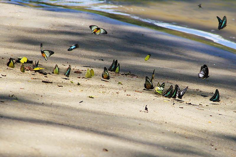 Kupu-kupu hinggap di kotoran burung di tepi Krueng Teunom (Foto M Iqbal/SeputarAceh.com)