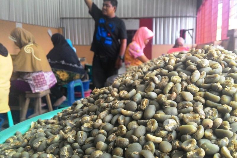 Pemilihan biji kopi Arabika Gayo (Foto Aulia Fitri/SeputarAceh.com)