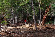 Uap panas dan belerang menyebabkan pepohonan mati di sekitar kawasan volkano Jaboi (Foto M Iqbal/SeputarAceh.com)