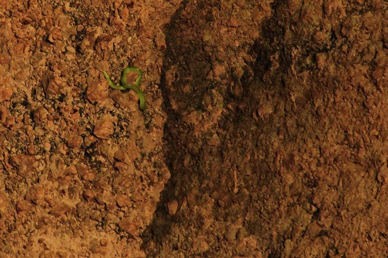 Spesies ular berwarna hijau atau ular bajing (Gonyosoma oxycephala) berada dinding Gua Kelelawar , Gampong Iboih, Sabang (Foto M Iqbal/SeputarAceh.com)